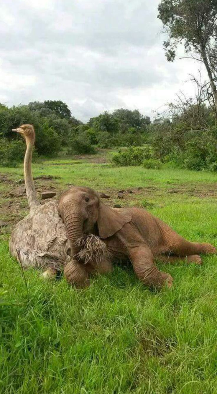 This ostrich and baby elephant snuggle is just heart melting!!