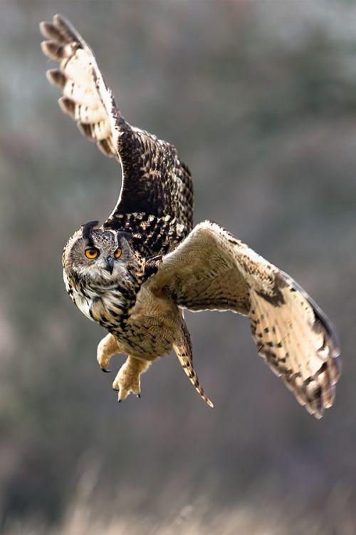 Great Horned Owl in flight.