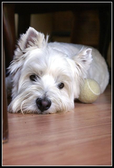 Pin By Wilma M Graham On Westie Westie Dogs Westies Dogs