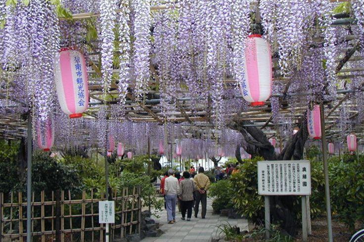 Dica de passeio: festivais de glicínias em Aichi