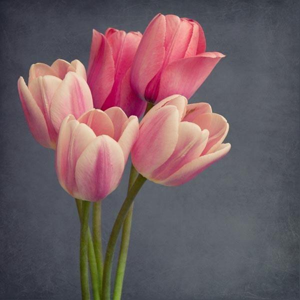 Fine art flower photography print of pink tulips by Allison Trentelman.
