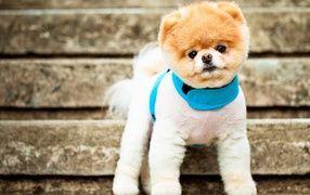 Самая симпатичная собака Бу