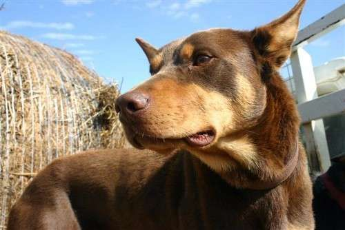 Purebred Kelpie pups for sale  Black and Tan 10 weeks old $150  Red and Tan $250  Champion Bloodlines. Rangers and Capree  Parents work both yard and paddock.  Microchipped, vaccinated and wormed.  No phonecalls after 8.30pm As working farmer gets up early - https://www.pups4sale.com.au/dog-breed/450/Kelpie-(Australian).html
