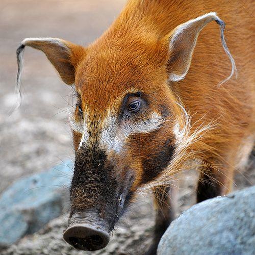 Red River Hog(Potamochoerus porcus). Rain forest and similar habitat preferred. Western central Africa.