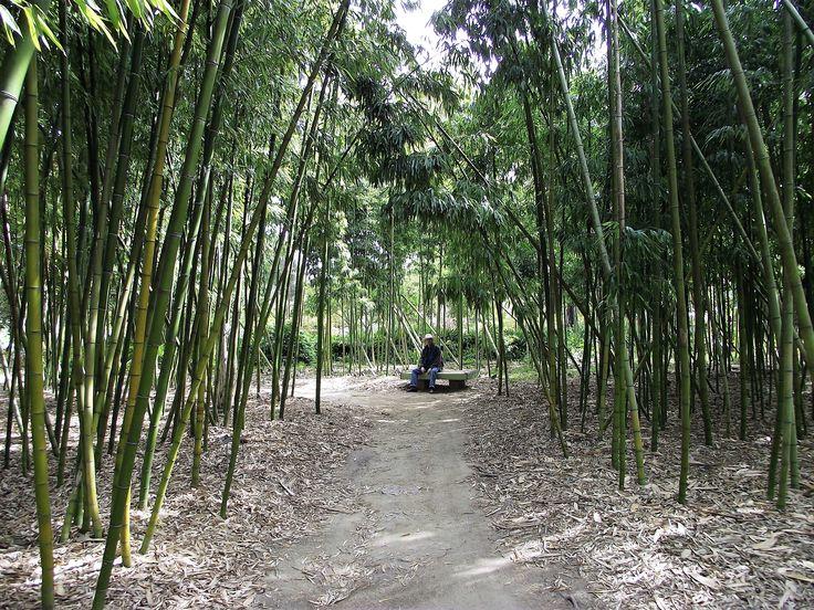 Foret de bamboo Calofornie