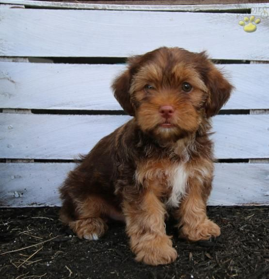 Rex Shorkie Puppy For Sale In Middlebury In Lancaster Puppies