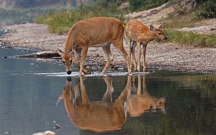 Download wallpapers deer, wildlife, autumn, lake, forest inhabitants, white-tailed deer