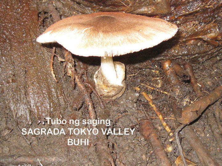 "Tubo"" edible mushroom / agaricus bisporus: pinterest.com/pin/433964114066058807"