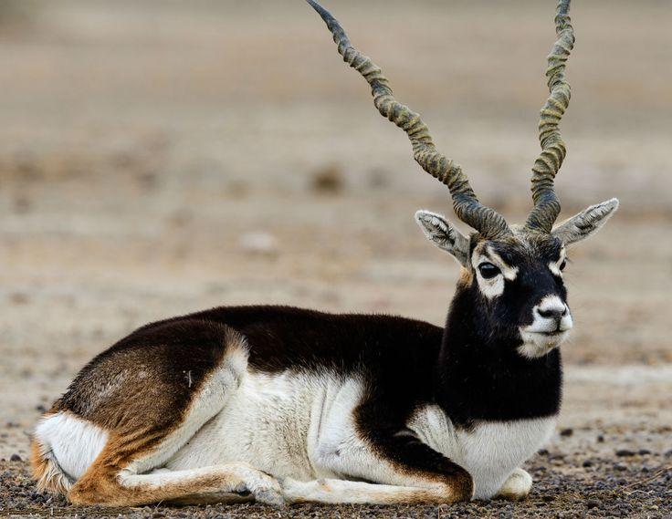 About Tal Chhapar Sanctuary, Shekhawati तल छपरा वन्यजीव अभयारण्य थार रेगिस्तान की सीमाओं पर स्थित है। 'ताल' शब्द का अर्थ खुले और सपाट भूमि का अर्थ है। 1334 वर्ग किमी के क्षेत्र में जंगली पक्षियों की अद्भुत विविधता के लिए एक विनम्र घर, ताला सी ब्लैक बक्स के लिए बड़े पैमाने पर प्रसिद्ध है। ताल्लर छपरा वन्यजीव अभयारण्य हरे रंग के लॉन से अधिक बार नहीं बनी हुई; इस बड़े क्षेत्र में पेड़ों को शायद ही कभी देखा जाता है  http://www.e-rajasthan.com/tal-chappar-wildlife-sanctuary-nagaur/  When to visit…