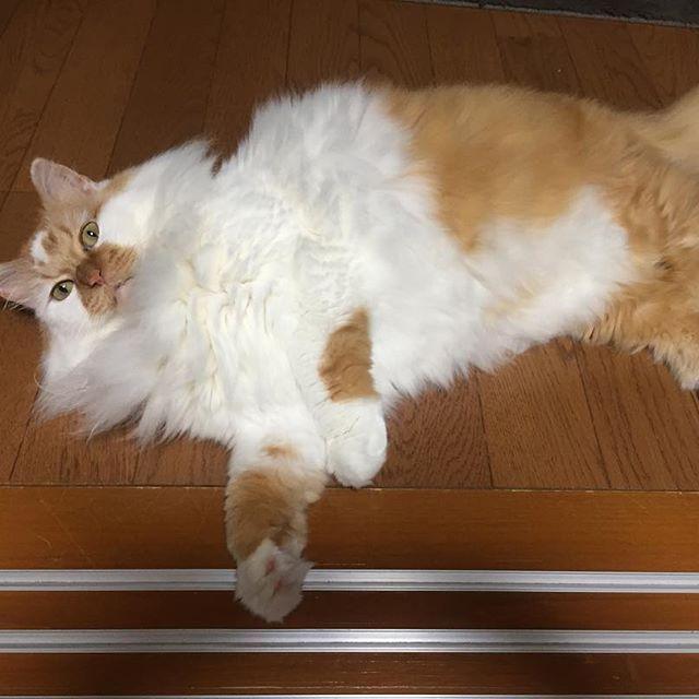 暑いにゃ〜 . #土アップ #土あっぷ祭 #土あっぷ #土アップ祭 . #cat #catstagram #catoftheday #catsofinstagram #instagramcats #catoftheday #lovekittens #catlover  #ilovecat  #ilovemycat#catstagram #instacat #instacats #kawaii_cat#nyaspaper#猫好きさんと繋がりたい#愛猫 #保護猫#もふもふ#ふわもこ部#ねこ部#にゃんすたぐらむ#にゃんこ#ねこ#ねこまみれ#みんねこ#猫エイズキャリア#にゃんだふるらいふ