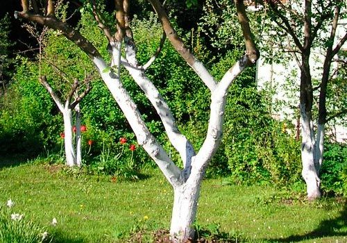 Садовая побелка деревьев