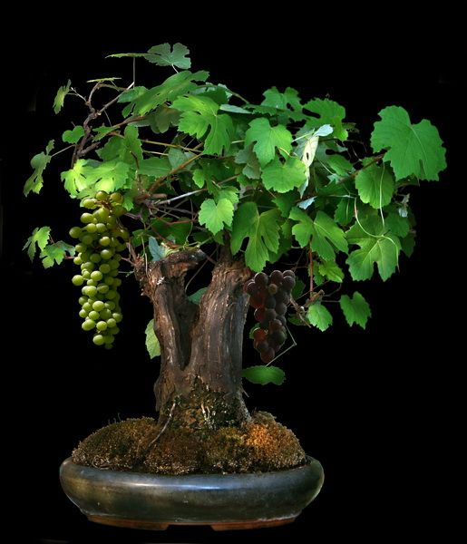 Vitis bonsai