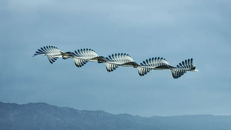 Unusual Composite Images of Birds in Flight Inspired by an 150-Year-Old Technique | Colossal