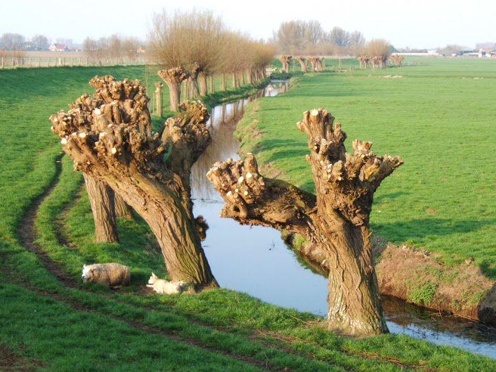 Bomen in de Hoeksche Waard - Knotwilgen, Ritselaarsdijk, Westmaas