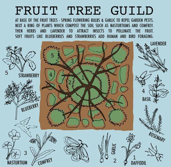 Fruit-Tree-Guildme_600.jpg (600×587)