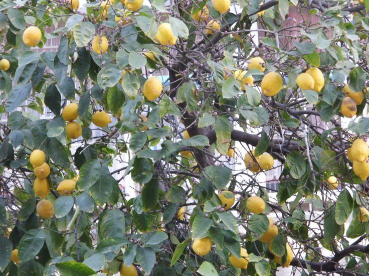 Lemon Tree by S.Özdemir