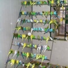 папагали вълнисти