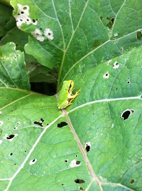 ごぼう畑に住むカエルくん。  好物の虫がいるからカエルくんにも居心地が良い場所。  無農薬の畑には、小さな生態系、宇宙が存在しています。  石上さんのごぼうも、土の中では1mくらいに成長して、  もう手では抜けないくらいに育ってます。