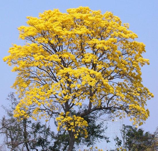 Tabebuia guayacan