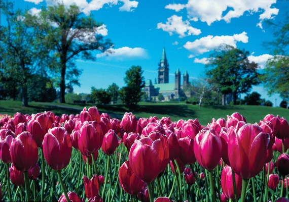 A peek at the parliament through some flowers during the Canadian Tulip Festival in spring.