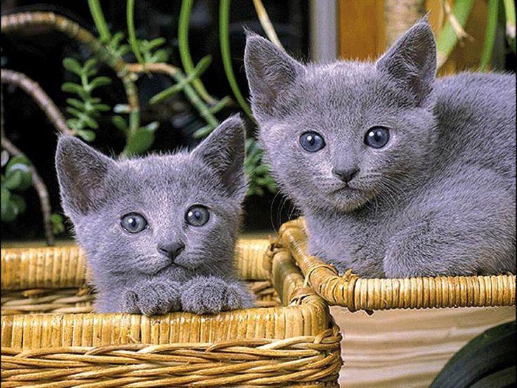 русские голубые котята фотообои, фото обои, фотография