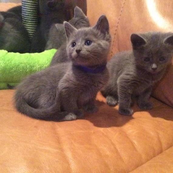 Russian Blue Cats For Sale Little Rock Ar Russian Blue Russian Blue Cat Cats For Sale