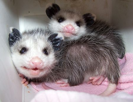 Opossums also enjoy eating snakes, and will kill and eat all snakes including poisonous ones. They are immune to the snake venom, and relish copperhead, water moccasins, rattlesnakes, and others.