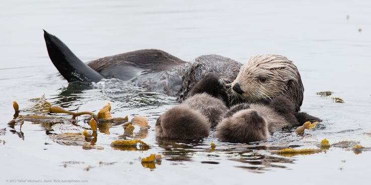 Mother sea otter with rare twin pups
