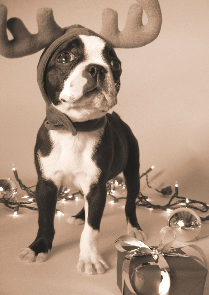 festive boston terrier
