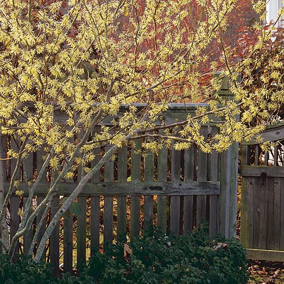 Common Witch Hazel - grows 15-25' tall, 15-20' wide, blooms in late fall, holds leaves through winter and seeds attract birds