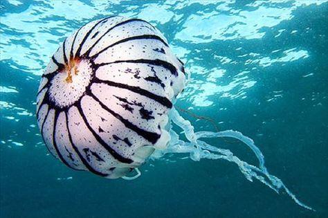 危険だけど美しいクラゲの種類・一覧(画像集) | ailovei