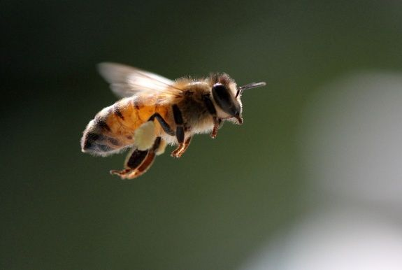 The essential ingredient, the honey bee.