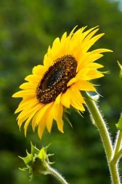 Sunflowers compete with some other plants by releasing chemicals in the seeds, leaves and stalk. No beans with sunflowers!