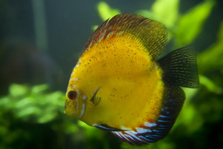 Best 25 discus fish for sale ideas on pinterest discus for Freshwater aquarium fish for sale