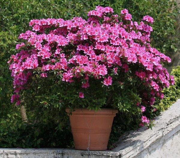 Cada año a finales de primavera, principios de verano, las azaleas y los rododendros estallan de color. Gracias a sus coloridas flores blancas, rojas, rosas, moradas y naranjas transforman por comp…