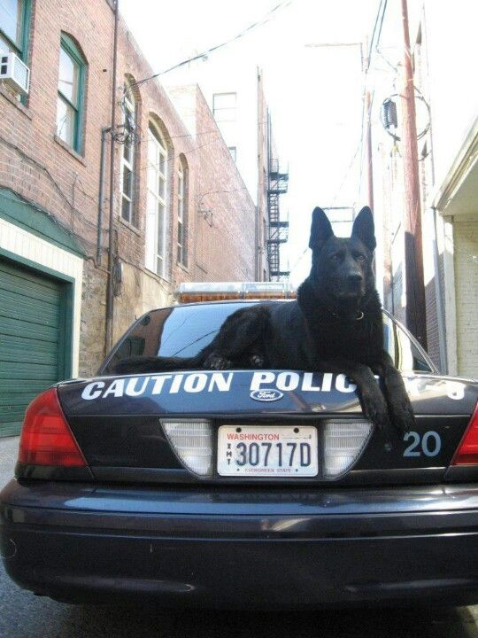 Go ahead and try to turn this police car over, I dare you...