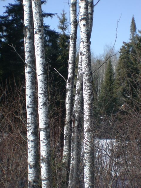 Birch trees Boundary Waters Winter