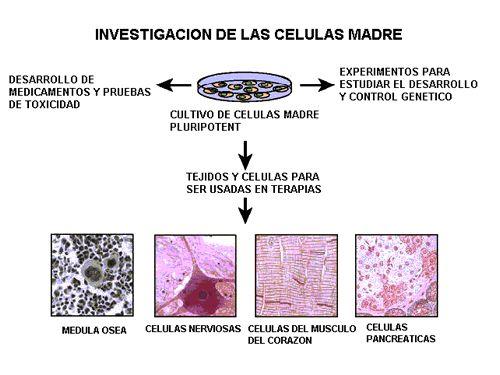 Investigacíon de las células madre