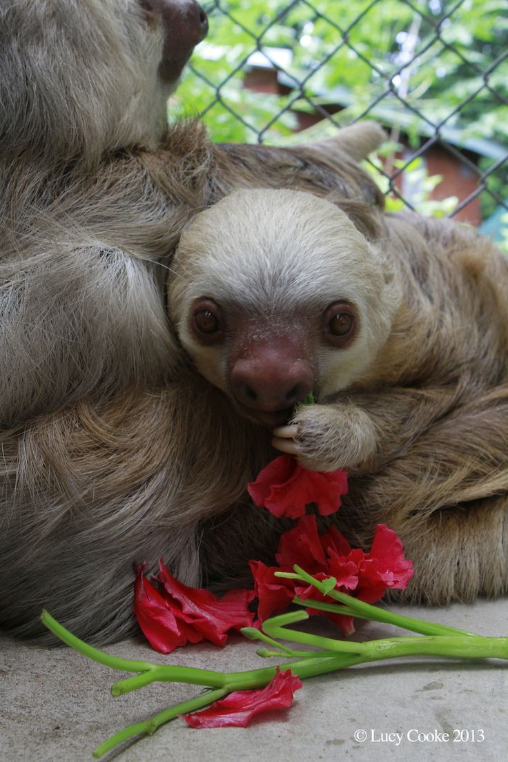 Wistful sloths. | The 29 Cutest Sloths That Ever Slothed