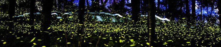 Cuando las estrellas bajan a la tierra: Luciérnagas de Nanacamilpa