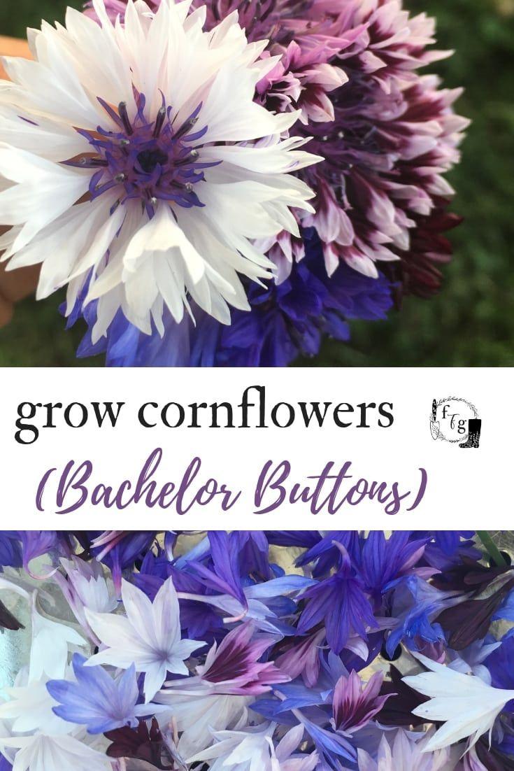 Grow Bachelor Buttons Cornflowers Family Food Garden Bachelor Button Flowers Flower Garden Care Bachelor Buttons