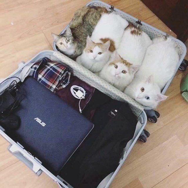 「わたしらのスタンバイはOKですニャ!!」飼い主さんがスーツケースを用意してたら4匹の飼い猫が同行する気満々だった   Pouch[ポーチ]