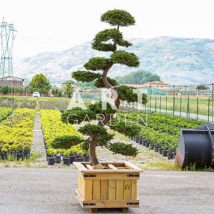 595 best arbres nuage japonais bonsai geant images on. Black Bedroom Furniture Sets. Home Design Ideas