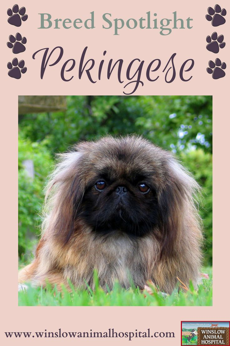 Breed Spotlight Pekingese Animal Hospital Breeds Dog Breeds