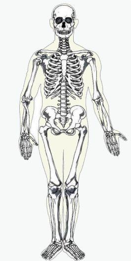 sistema locomotor: Huesos