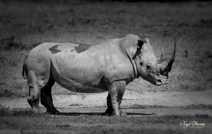 White rhinoceros also known as Square-lipped rhinoceros Ceratotherium simum Kenya, 2016. ##wildlife  ##canon  ##photography  ##Africa  ##kenya ... - Nigil Haroon - Google+
