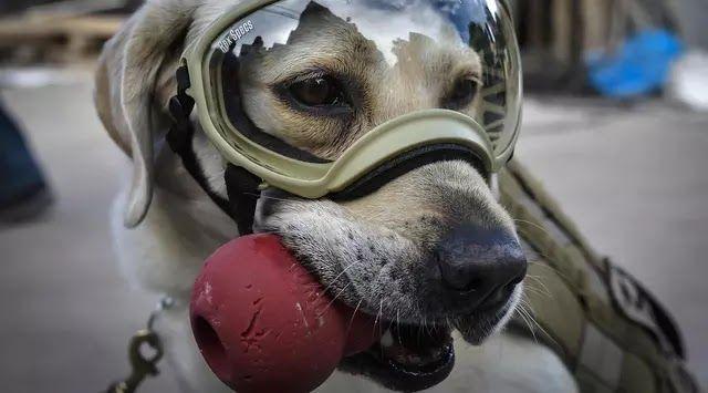 Frida seekor anjing penyelamat milik Angkatan Laut Meksiko beristirahat saat mencari korban yang tertimbun reruntuhan bangunan pasca-gempa 71 Skala Ritcher (SR) yang menghantam Meksiko di sekolah Rebsamen di Mexico City (22/9). (AFP Photo/Omar Torres)  Seekor anjing penyelamat milik Angkatan Laut Meksiko Frida saat mencari korban yang tertimbun reruntuhan bangunan pasca-gempa 71 Skala Ritcher (SR) yang menghantam Meksiko di sekolah Rebsamen di Mexico City (22/9). (AFP Photo/Omar Torres)…