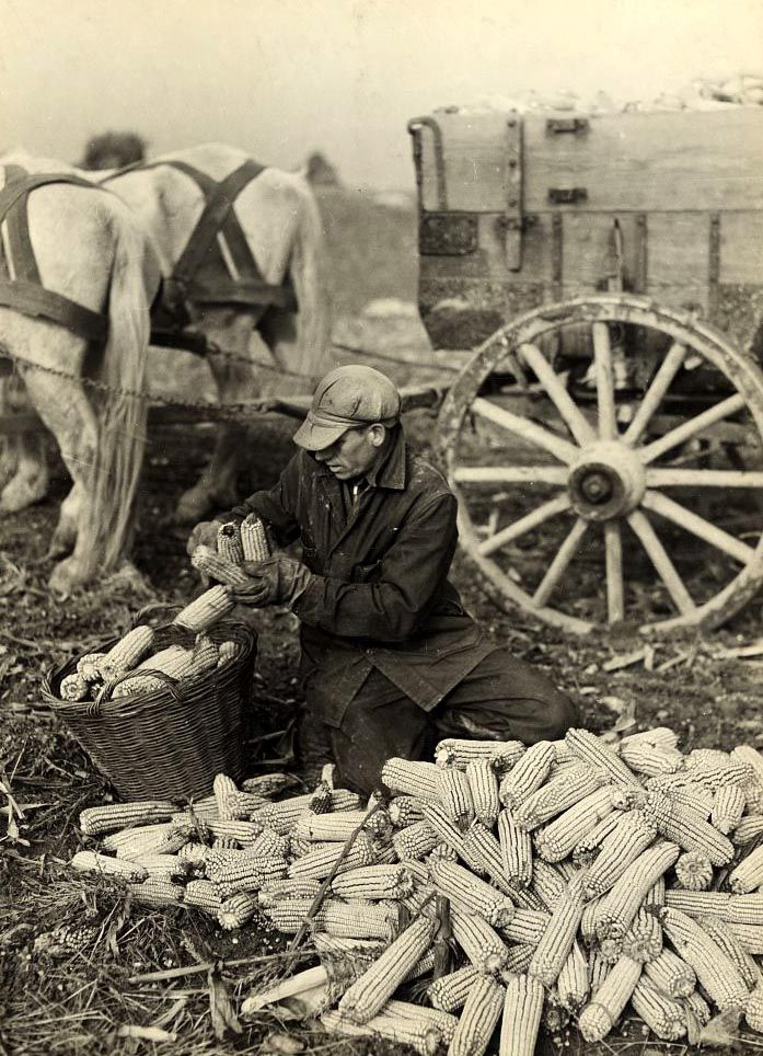 A farmer can be seen gathering up his husked corn to bring in.  1937. imgur: the simple image sharer