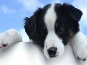 Un bonito perro negro y blanco
