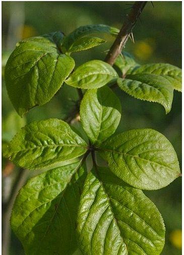 Je vous présente dans cet article le protocole Buhner pour traiter la maladie de Lyme. Le protocole de base est composé de 4 plantes à connaître absolument.